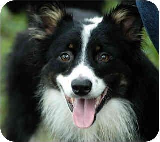 Australian Shepherd Dog for adoption in Savannah, Georgia - Larsen