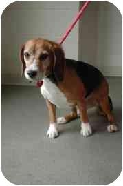 Beagle Mix Dog for adoption in Walker, Michigan - Austin