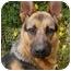 Photo 2 - German Shepherd Dog Dog for adoption in Los Angeles, California - Darcy von Hariton