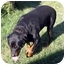 Photo 2 - Rottweiler Dog for adoption in San Pedro, California - Max