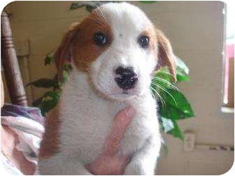 Collie/Labrador Retriever Mix Puppy for adoption in Old Bridge, New Jersey - Hadu