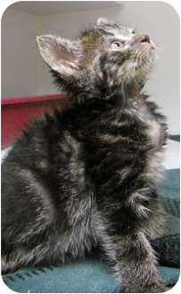 Domestic Shorthair Kitten for adoption in Maywood, New Jersey - Tiddly Wink