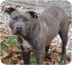 Pit Bull Terrier Mix Dog for adoption in Bloomfield, Connecticut - Selma Hayek
