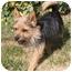 Photo 3 - Australian Terrier/Yorkie, Yorkshire Terrier Mix Dog for adoption in Edmonton, Alberta - Baxter