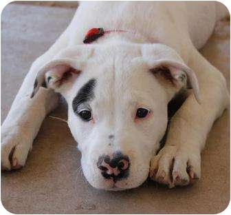 American Pit Bull Terrier Mix Puppy for adoption in Mesa, Arizona - Sammy