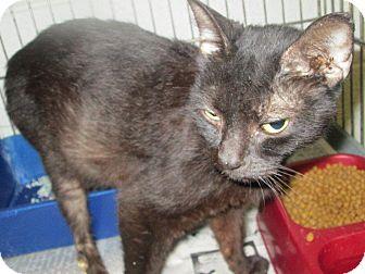 Domestic Shorthair Cat for adoption in Henderson, North Carolina - Genie