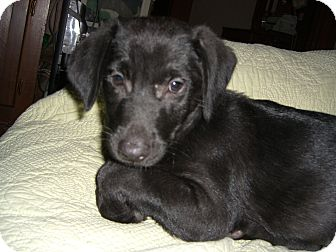 Labrador Retriever Mix Puppy for adoption in Groton, Massachusetts - Tommy