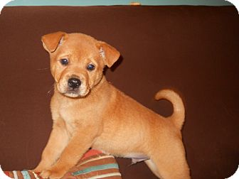 Labrador Retriever/Chow Chow Mix Puppy for adoption in Groton, Massachusetts - Pichard