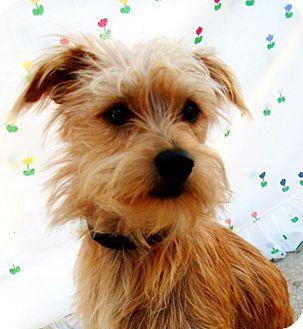 Norfolk Terrier/Border Terrier Mix Dog for adoption in El Cajon, California - CHILI