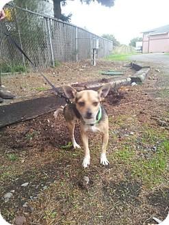 Chihuahua Mix Dog for adoption in Yelm, Washington - Ricky