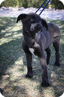 Retriever (Unknown Type) Mix Puppy for adoption in Broomfield, Colorado - Arabella