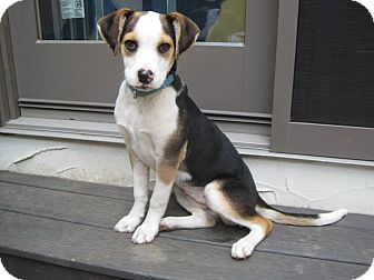 Beagle Mix Puppy for adoption in West Milford, New Jersey - TRISCUIT
