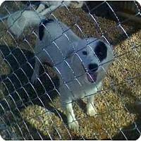 Adopt A Pet :: Cody - Albany, NY