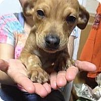 Adopt A Pet :: Andy - South Jersey, NJ