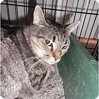 Adopt A Pet :: Avery FIV+ - Warren, MI