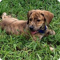 Adopt A Pet :: Whiskey-adoption in progress - Marshfield, MA