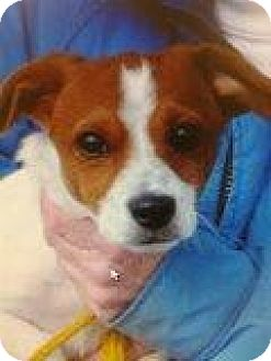 Jack Russell Terrier Mix Puppy for adoption in Richmond, Virginia - Freddie