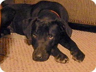 Labrador Retriever Mix Dog for adoption in Orlando, Florida - Shotzy