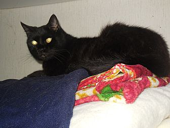Domestic Mediumhair Cat for adoption in Old Town, Florida - Sammy