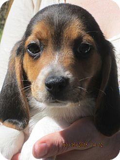 Beagle Puppy for adoption in South Burlington, Vermont - Laurel