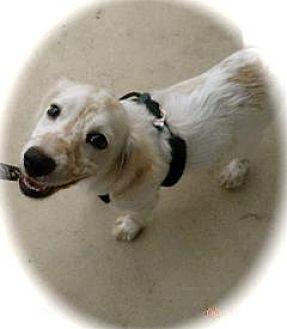 Brittany/Cocker Spaniel Mix Puppy for adoption in Von Ormy, Texas - Tyson