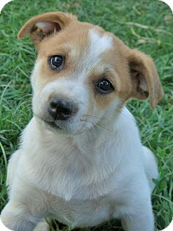 Corgi/Pit Bull Terrier Mix Puppy for adoption in Red Bluff, California - Norm