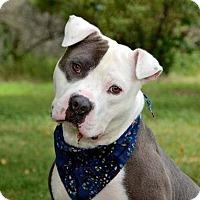 Adopt A Pet :: Tommy Boy - Davison, MI