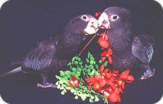 Other/Unknown for adoption in Clovis, New Mexico - *Vasa Parrots*