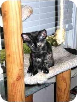 Domestic Shorthair Kitten for adoption in Houston, Texas - Selina