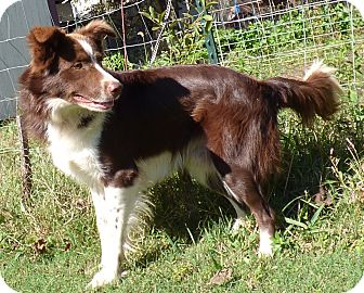 Border Collie Mix Dog for adoption in Newburgh, New York - Kirby