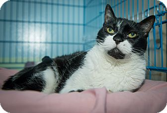 Domestic Shorthair Cat for adoption in New York, New York - Candy