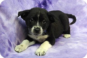 Shepherd (Unknown Type)/Retriever (Unknown Type) Mix Puppy for adoption in Westminster, Colorado - ELI
