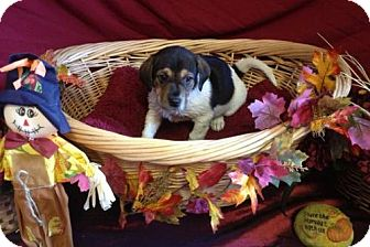 Beagle/Boston Terrier Mix Puppy for adoption in House Springs, Missouri - Amber