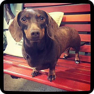 Dachshund Dog for adoption in Grand Bay, Alabama - Birdie