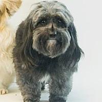 Miniature Schnauzer Mix Dog for adoption in Jacksonville, Florida - Espresso