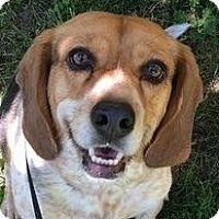 Adopt A Pet :: MACI - Albany, NY