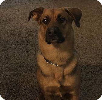 German Shepherd Dog/Labrador Retriever Mix Dog for adoption in Gilbert, Arizona - Copper