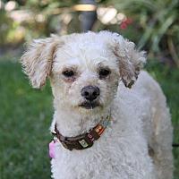Adopt A Pet :: PRINGLES - Newport Beach, CA