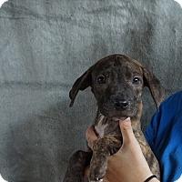 Adopt A Pet :: Jess - Oviedo, FL