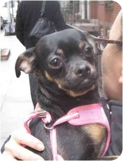 Chihuahua Puppy for adoption in Long Beach, New York - Wilbur