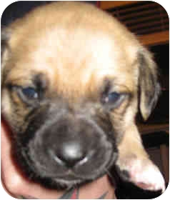 Corgi/Chihuahua Mix Puppy for adoption in Calgary, Alberta - Big Boy - Pending Adoption