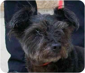 Schnauzer (Miniature)/Cairn Terrier Mix Dog for adoption in Palatine, Illinois - BULLWINKLE