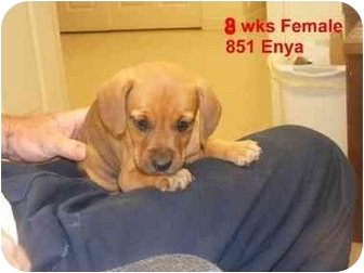 Labrador Retriever/Hound (Unknown Type) Mix Puppy for adoption in Rochester, New Hampshire - Enya  adopted