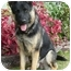 Photo 3 - German Shepherd Dog Dog for adoption in Los Angeles, California - Ozlo von Lundgren