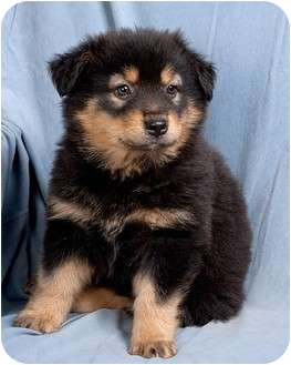Collie/Chow Chow Mix Puppy for adoption in Anna, Illinois - THORA
