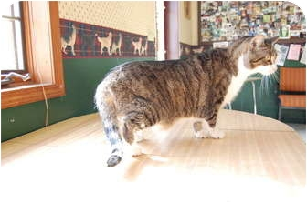 Domestic Shorthair Cat for adoption in North Judson, Indiana - Hemi