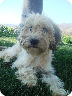 Wheaten Terrier Mix Puppy for adoption in El Cajon, California - Wheaten