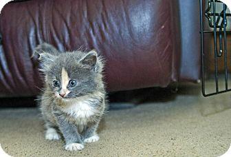 Domestic Mediumhair Kitten for adoption in Hillsborough, New Jersey - Astrid