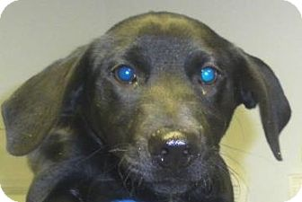 Labrador Retriever/Retriever (Unknown Type) Mix Puppy for adoption in Lincolnton, North Carolina - Lawrence