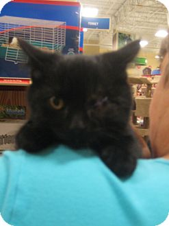 Domestic Shorthair Kitten for adoption in Rochester, Minnesota - Spinner